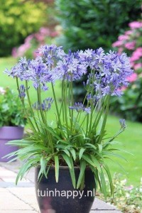 Tuinhappy.nl - agapanthus in pot
