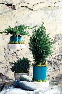 blauwe coniferen
