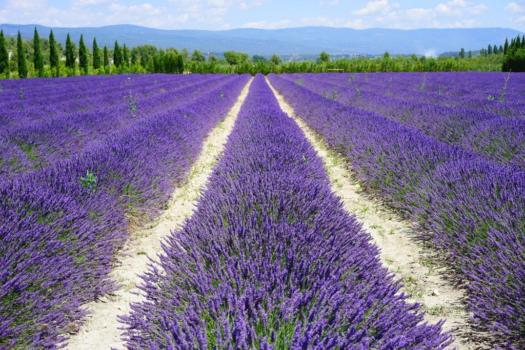Tips en weetjes lavendel snoeien